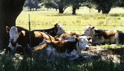 Cows Relaxing by Heidi Kraut - 28297 Bytes